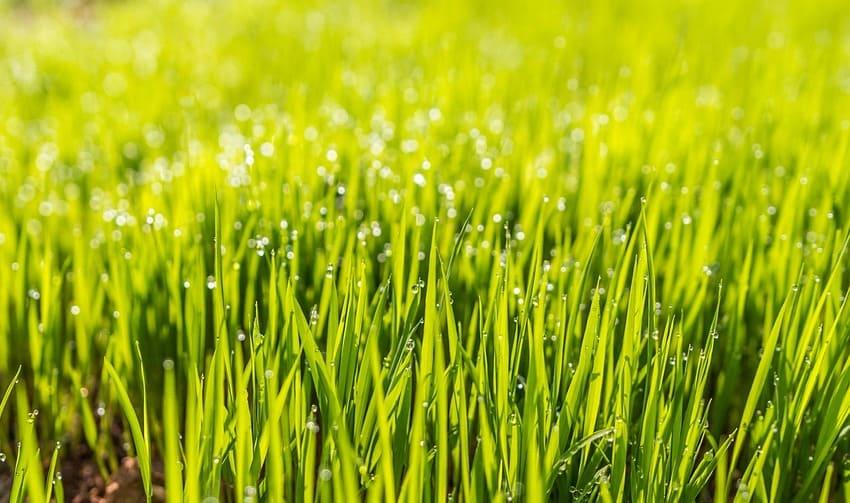 Frischer Rasen durch gekaufte Rasensamen
