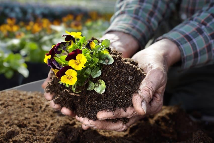 Eine Pflanze wird mithilfe von Blumenerde umgetopft