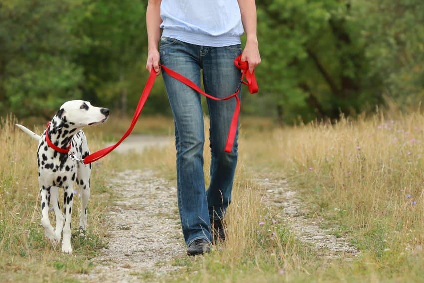 Ein Dalmatiner wird mit einer Schleppleine geführt
